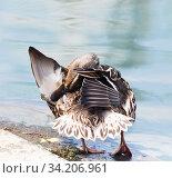 Купить «Птицы. Кряква (дикая утка) чистит перышки на берегу рядом с водой», фото № 34206961, снято 28 июня 2020 г. (c) E. O. / Фотобанк Лори