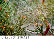 Macro view of raindrops on a spiderweb in the juniper needles. Shallow depth of field. Стоковое фото, фотограф Zoonar.com/Kokhanchikov / easy Fotostock / Фотобанк Лори