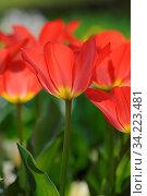 Tulpen, tulpe, tulpenwiese, blume, blumen, blumenwiese, blüte, blüten, blütenpracht, frühling, frühjahr, natur, bunt, park, rot,tulpenblüte, tulpenblüten, frühblüher. Стоковое фото, фотограф Zoonar.com/Volker Rauch / age Fotostock / Фотобанк Лори