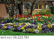 Blumengarten, Frühling, garten, blumen, frühjahr, tulpe, tulpen, bunt, zierpflanzen, gartenblumen, malerisch, stiefmütterchen, osterglocke, osterglocken, narzisse, narzissen, veilchen. Стоковое фото, фотограф Zoonar.com/Volker Rauch / age Fotostock / Фотобанк Лори