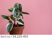 Rubber ficus of the tieneke variety in a clay flower pot on a pink background. Стоковое фото, фотограф Ольга Губская / Фотобанк Лори