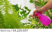Купить «hand spraying houseplant with water at home», видеоролик № 34229697, снято 14 июня 2020 г. (c) Syda Productions / Фотобанк Лори