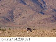 Gemsbok (Oryx gazella), Sossusvlei region, Namib desert, Namibia, March. Стоковое фото, фотограф Ernie Janes / Nature Picture Library / Фотобанк Лори