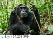 Chimpanzee (Pan troglodytes schweinfurthii) portrait, male, Kibale National Park, Uganda. Стоковое фото, фотограф Eric Baccega / Nature Picture Library / Фотобанк Лори