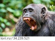 Chimpanzee (Pan troglodytes schweinfurthii) male yawning. Kibale National Park, Uganda, Africa. Стоковое фото, фотограф Eric Baccega / Nature Picture Library / Фотобанк Лори