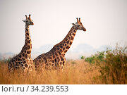 Rothschild's giraffe (Giraffa camelopardalis rothschildi) in Murchisson Falls National Park, Uganda, Africa. Стоковое фото, фотограф Eric Baccega / Nature Picture Library / Фотобанк Лори