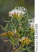 Grevillea (Grevillea teretifolia), Great Western Woodlands, Western Australia, endemic. Стоковое фото, фотограф Marie Lochman / Nature Picture Library / Фотобанк Лори