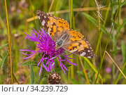 Painted lady butterfly (Vanessa cardui) feeding on knapweed Sutcliffe Park Nature Reserve, Eltham, London, England, UK. June. Стоковое фото, фотограф Rod Williams / Nature Picture Library / Фотобанк Лори