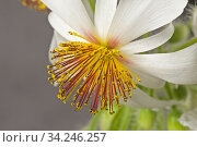 African hemp (Sparrmannia africana) flower with open stamens, filaments and anthers after reacting to touch. Стоковое фото, фотограф Nigel Cattlin / Nature Picture Library / Фотобанк Лори