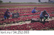 International team of farm workers hand harvesting organic red lettuce crop on fertile agriculture land. Стоковое видео, видеограф Яков Филимонов / Фотобанк Лори