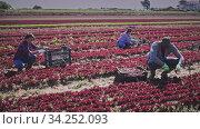 Купить «International team of farm workers hand harvesting organic red lettuce crop on fertile agriculture land», видеоролик № 34252093, снято 4 августа 2020 г. (c) Яков Филимонов / Фотобанк Лори