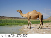 Camel in the coastal lake at Khor Rori (Sumhuram), a wealthy port between the Mediterranean and India. UNESCO world herritage site. Photo: André Maslennikov. Стоковое фото, фотограф Andre Maslennikov / age Fotostock / Фотобанк Лори