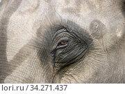 Eye of an elephant in Kaziranga National Park in India. Photo: André Maslennikov. Стоковое фото, фотограф Andre Maslennikov / age Fotostock / Фотобанк Лори