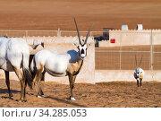 Large antelopes with spectacular horns, Gemsbok, Oryx gazella, being bred in captivity in Oman desert. Стоковое фото, фотограф Matej Kastelic / Фотобанк Лори