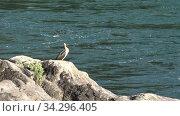 Cormorant bird sitting on the rocks near altai river Katun. Russia. Стоковое видео, видеограф Serg Zastavkin / Фотобанк Лори