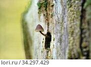 Мицена нитконогая (Mycena filopes) Стоковое фото, фотограф Dmitry29 / Фотобанк Лори