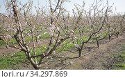 Beautiful blooming peach trees in spring garden. Стоковое видео, видеограф Яков Филимонов / Фотобанк Лори