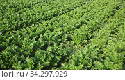 Купить «View of field planted with ripening celery. Popular leafy vegetable crop», видеоролик № 34297929, снято 5 августа 2020 г. (c) Яков Филимонов / Фотобанк Лори