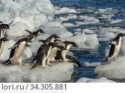 Купить «Adelie penguins (Pygoscelis adeliae) jumping into the sea from an ice pebble on Paulet Island at the tip of the Antarctic Peninsula.», фото № 34305881, снято 17 января 2006 г. (c) age Fotostock / Фотобанк Лори
