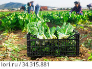 Boxes with chard on the farm field. Стоковое фото, фотограф Яков Филимонов / Фотобанк Лори