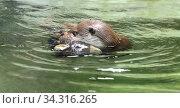 Eurasian otter (Lutra lutra) swims with soft toy in its teeth. Стоковое фото, фотограф Валерия Попова / Фотобанк Лори