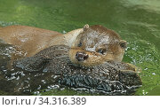 Young Eurasian otter (Lutra lutra) playing with plush toy in water. Focus on face and eyes. Стоковое фото, фотограф Валерия Попова / Фотобанк Лори