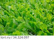 Greenery of young lettuce leaves grown in greenhouse. Стоковое фото, фотограф Яков Филимонов / Фотобанк Лори