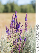 Salvia blooming. Spicy, healing, aromatic plants, flowers and herbs. Alternative medicine, herbal medicine. Scented healing sage. Natural summer sunny floral background. Стоковое фото, фотограф Светлана Евграфова / Фотобанк Лори