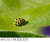 Twenty-two spot ladybird (Psyllobora vigintiduopunctata) walking on leaf in a Wiltshire garden, UK, April. Стоковое фото, фотограф Nick Upton / Nature Picture Library / Фотобанк Лори