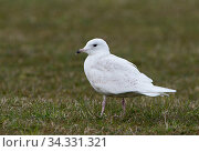 Купить «Iceland gull (Larus glaucoides) with 1st summer or second year plumage Unst, Shetland, Scotland, UK. June», фото № 34331321, снято 4 августа 2020 г. (c) Nature Picture Library / Фотобанк Лори