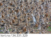 Black-tailed godwits (Limosa limosa) roosting flock at Snettisham RSPB Reserve on The Wash Norfolk, England, UK. August. Стоковое фото, фотограф David Tipling / Nature Picture Library / Фотобанк Лори