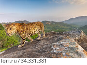 Indian leopard (Panthera pardus fusca) on rock with forested hills beyond. Nilgiri Biosphere Reserve, India. Camera trap image. 2019. Стоковое фото, фотограф Yashpal Rathore / Nature Picture Library / Фотобанк Лори