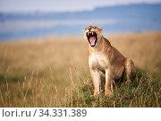 Lioness (Panthera leo) yawning in savanna. Masai Mara National Reserve, Kenya. Стоковое фото, фотограф Eric Baccega / Nature Picture Library / Фотобанк Лори