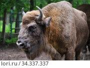 European Bison in the wood (2020 год). Редакционное фото, фотограф Знаменский Олег / Фотобанк Лори