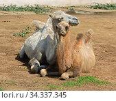Domestic bactrian camel (Camelus bactrianus). Mother and child. Стоковое фото, фотограф Валерия Попова / Фотобанк Лори