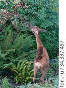 Roe deer (Capreolus capreolus) doe browsing a Rose Bush in a flowerbed, Wiltshire garden, UK, October. Стоковое фото, фотограф Nick Upton / Nature Picture Library / Фотобанк Лори