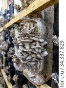 Выращивание грибов вешенка на грибной ферме. Стоковое фото, фотограф Евгений Ткачёв / Фотобанк Лори