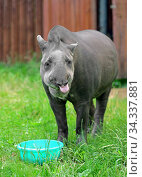 South American tapir (Tapirus terrestris). Focus on face. Стоковое фото, фотограф Валерия Попова / Фотобанк Лори