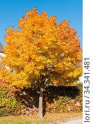Купить «Leuchtender Ahornbaum mit verfärbten Blättern in der Sonne - Laubbaum...», фото № 34341481, снято 7 августа 2020 г. (c) easy Fotostock / Фотобанк Лори