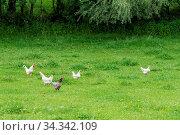 Artgerechte Tierhaltung - freilaufende Hühner und Hahn in einer Wiese. Стоковое фото, фотограф Zoonar.com/Alfred Hofer / easy Fotostock / Фотобанк Лори