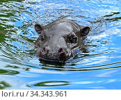 Pygmy hippopotamus (Choeropsis liberiensis) in water. Стоковое фото, фотограф Валерия Попова / Фотобанк Лори