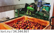 Process of washing harvested peaches on production line in fruit packaging workshop. Стоковое видео, видеограф Яков Филимонов / Фотобанк Лори