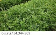 mizuna plants carefully growing in the garden. Стоковое видео, видеограф Яков Филимонов / Фотобанк Лори