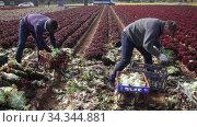 Two male gardeners picking harvest of red lettuce in garden outdoor. Стоковое видео, видеограф Яков Филимонов / Фотобанк Лори