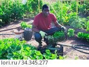 Farmer harvests bell pepper and puts in boxes. Стоковое фото, фотограф Яков Филимонов / Фотобанк Лори