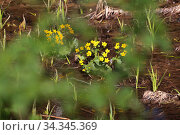 Водное болотное растения весной. Зеленый шум. Стоковое фото, фотограф Анатолий Матвейчук / Фотобанк Лори