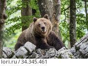 European brown bear (Ursus arctos), alpha male in the Karst forest, Notranjska, Slovenia. Стоковое фото, фотограф Franco  Banfi / Nature Picture Library / Фотобанк Лори