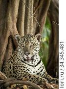 Jaguar (Panthera onca) Pantanal, Mato Grosso, Brazil. Стоковое фото, фотограф Franco  Banfi / Nature Picture Library / Фотобанк Лори