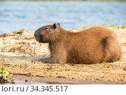 Capybara female (Hydrochoerus hydrochaeris) Pantanal, Mato Grosso do Sul, Brazil. Стоковое фото, фотограф Franco  Banfi / Nature Picture Library / Фотобанк Лори