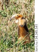 Southern anteater (Tamandua tetradactyla) standing, Formoso River, Bonito, Mato Grosso do Sul, Brazil. Стоковое фото, фотограф Franco  Banfi / Nature Picture Library / Фотобанк Лори
